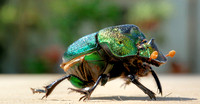 Green Stink Beetle