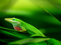 Green Anole Flashing