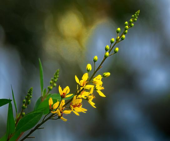 Zenfolio bill mangold photography plants flowers tiny yellow tiny yellow flowers mightylinksfo